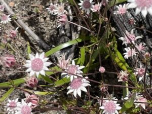 Flannel flowers pink